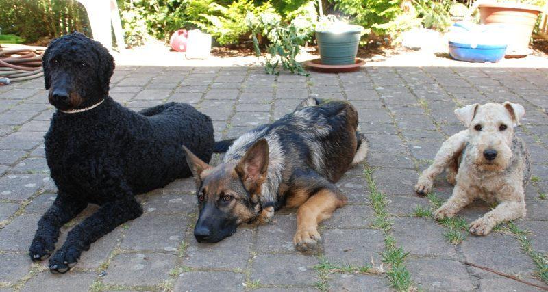 2013 Drei Hunde